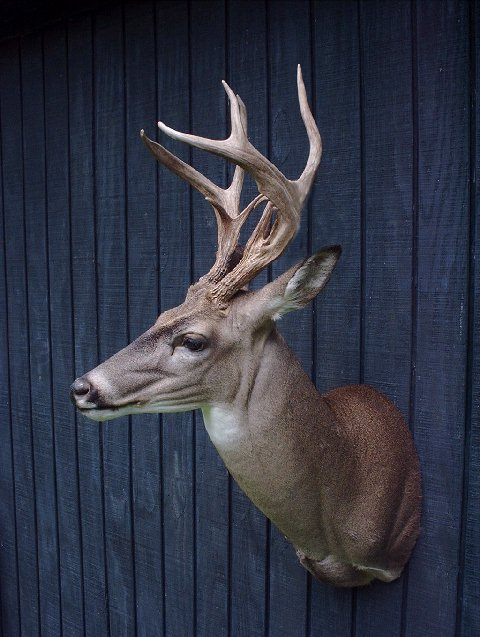 Whitetail Deer Taxidermy At Wild Things