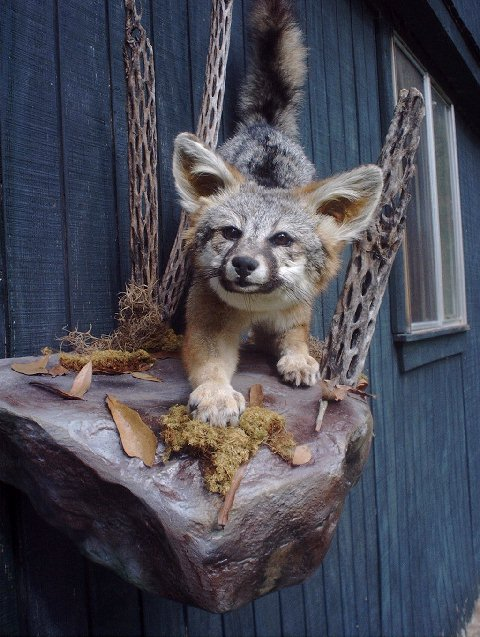 Grey Fox Taxidermy At Wild Things